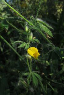 Lotus hispidus - Click to enlarge!