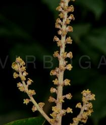Mallotus tetracoccus - Female flowers - Click to enlarge!