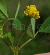 Medicago rigidula - Click to enlarge!