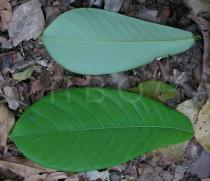 Monodora myristica - Upper and lower surface of leaf - Click to enlarge!
