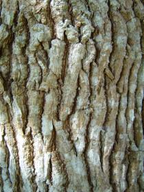 Persea americana - Bark - Click to enlarge!
