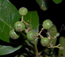 Pimenta dioica - Juvenile fruits - Click to enlarge!