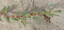 Polygonum maritimum - Branch - Click to enlarge!