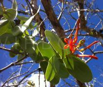 Psittacanthus cordatus - Click to enlarge!