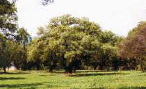 Quercus ithaburensis - Click to enlarge!