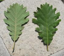 Quercus pyrenaica - Upper and lower surface of leaf - Click to enlarge!
