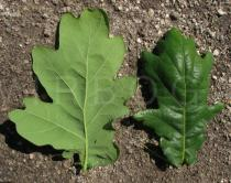 Quercus robur - Upper and lower surface of leaf - Click to enlarge!
