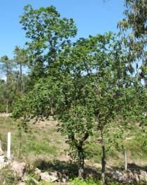 Quercus robur - Habit of young tree - Click to enlarge!