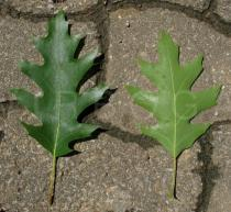 Quercus rubra - Upper and lower surface of leaf - Click to enlarge!