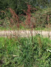 Rumex acetosa - Habit - Click to enlarge!