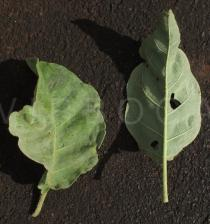 Solanum lycocarpum - Upper and lower surface of leaves - Click to enlarge!