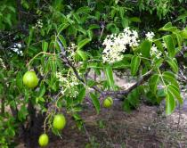 Spondias tuberosa - Click to enlarge!