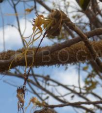 Strophanthus eminii - Click to enlarge!