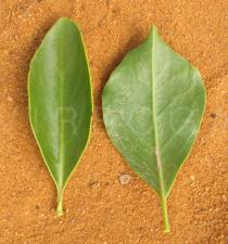 Struthanthus flexicaulis - Upper and lower surface of leaves - Click to enlarge!