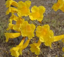 Tabebuia aurea - Click to enlarge!