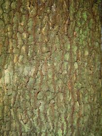 Tamarindus indica - Bark - Click to enlarge!
