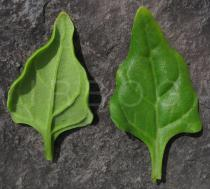 Tetragonia tetragonioides - Upper and lower side of leaf - Click to enlarge!