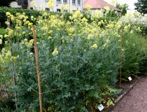 Thalictrum flavum - Click to enlarge!